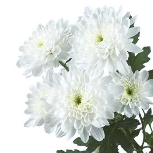 Хризантема Зембла кустовая (белая,желтая,кремовая)