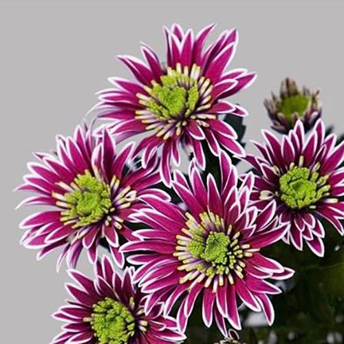Хризантема Саба кустовая