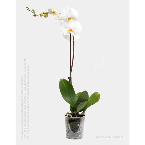 Домашнее растение орхидея фаленопсис белая в горшке