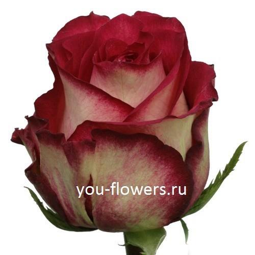 Роза Iguazy 60см