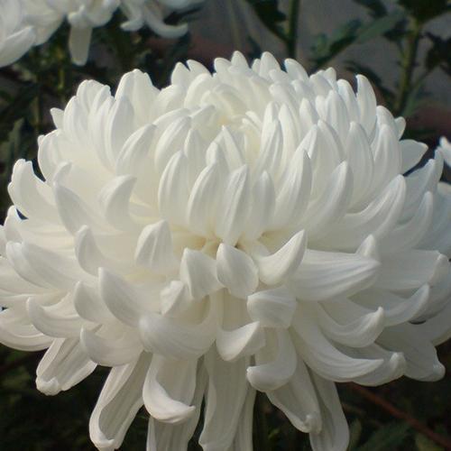 Хризантема Рибонет