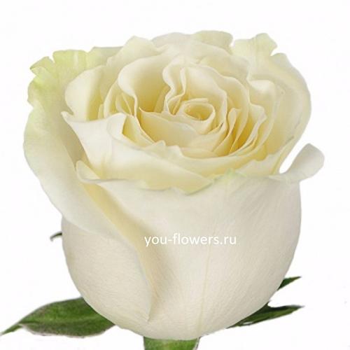 Роза Proud 80см