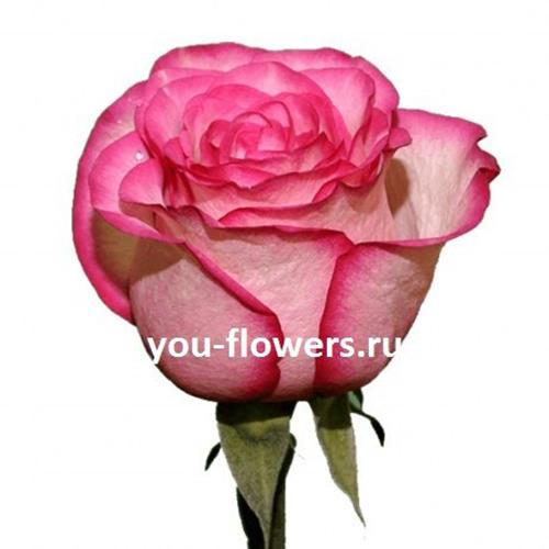 Роза Carousel 60см