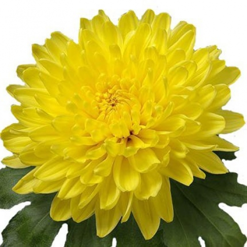 15 желтых и зеленых хризантем