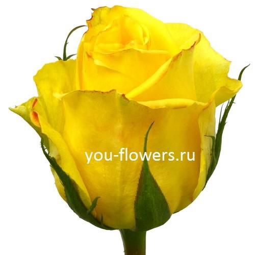 Роза Mohana 70см