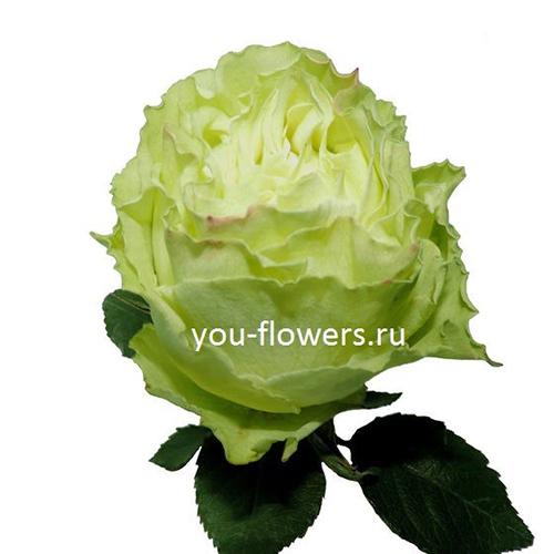 Роза Lemonade 70 см