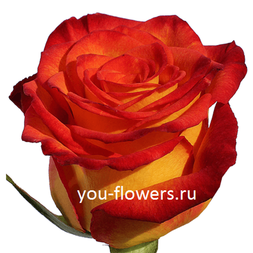 Роза High & Orange Magic 80см