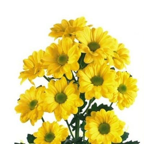 Хризантема Бакарди кустовая (Желтая, Белая)