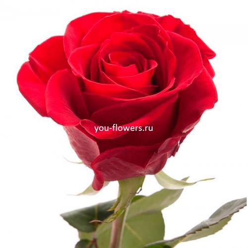 Роза Freedom 80см