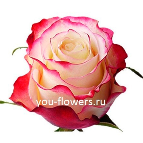 Роза Sweetness 80см
