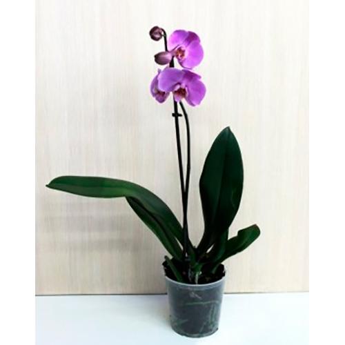 Орхидея фаленопсис Аннет (Annet)