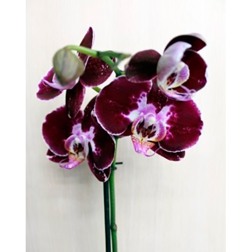 Орхидея фаленопсис Дип Пёрпл (Deep Purple)