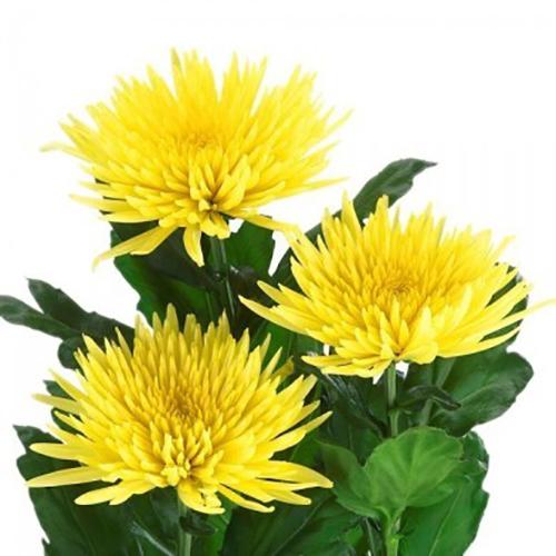 Хризантема «Анастасия» (желтая)