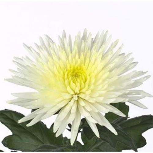 Хризантема «Анастасия» (белая)