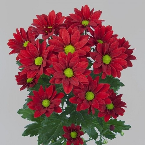 Хризантема Бакарди кустовая (красная)