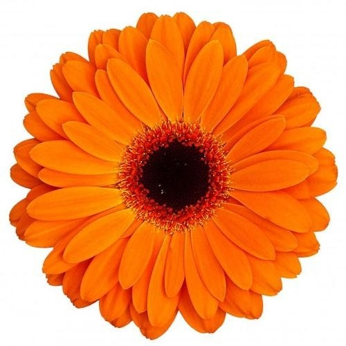 Гербера оранжевая